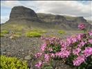 Flowers, somewhere near Vatnajökull