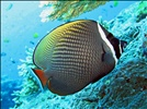 Red - tailed Butterflyfish