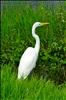 Great White Heron, Everglades National Park, Florida