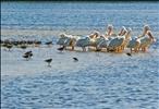 Pelicans & Friends